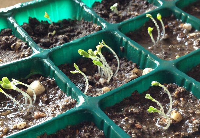 サンチュの苗を作る7