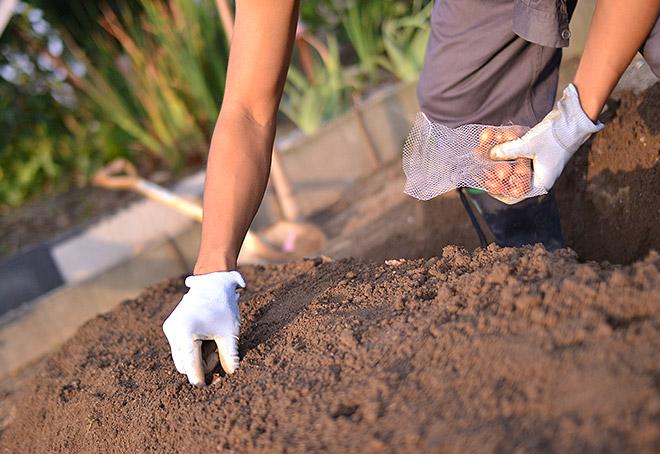たまねぎを植える