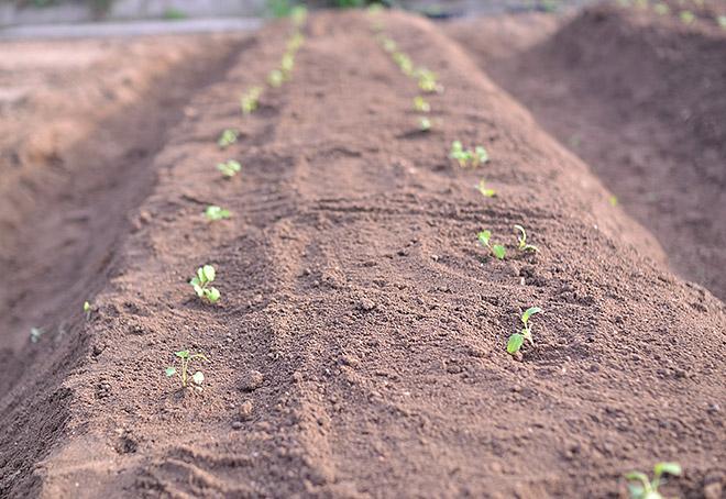 かぶの栽培