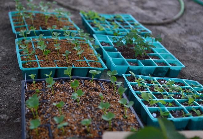 大根とイチゴとサンチュとアイコの苗