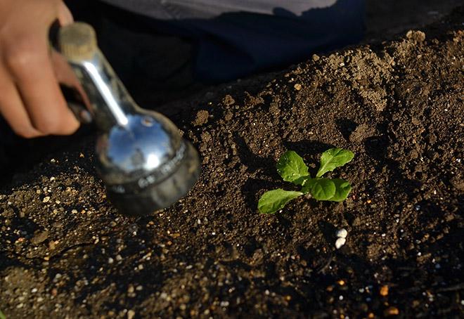 苗の横に散水ノズルをもっていく。_2