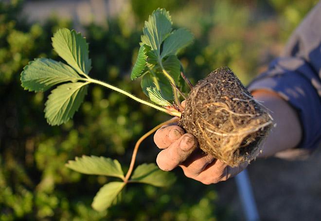イチゴの苗の根がすごい