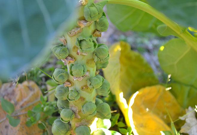 ぐいぐい農園産 芽キャベツ