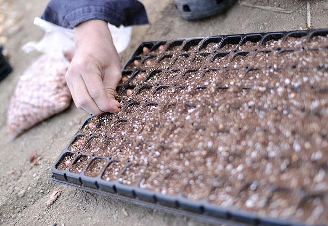 落花生の苗作り