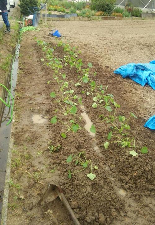 2列畝を作ってズッキーニを植えました