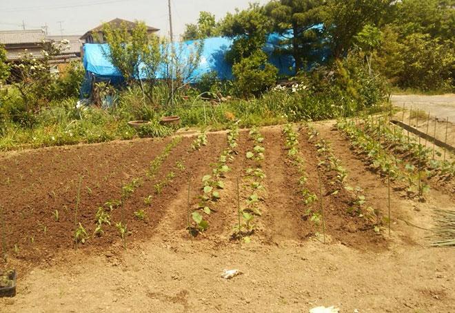 苗の畑移植完了!