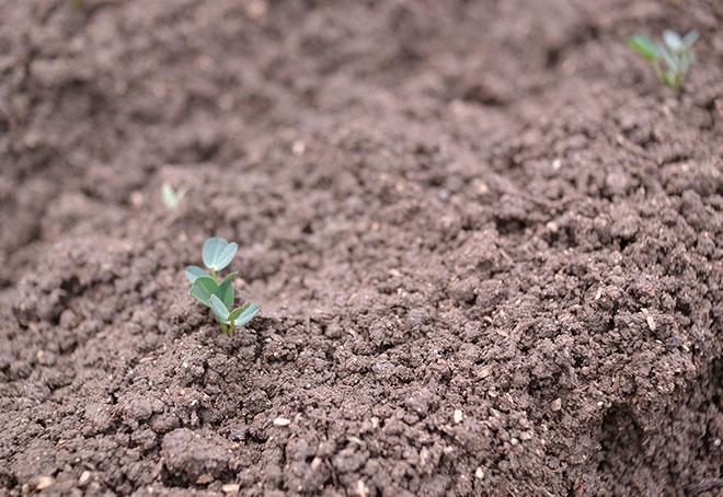 落花生を畑に移植