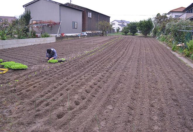 白菜を植える