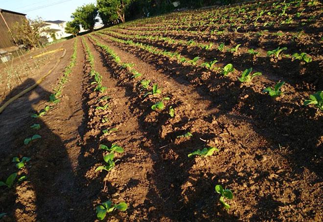 白菜の畝 列