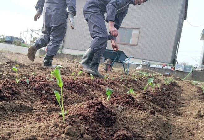 ブロッコリーを畑に移植06