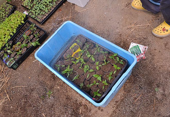 移植完了した苗に水をたっぷりあげます。002