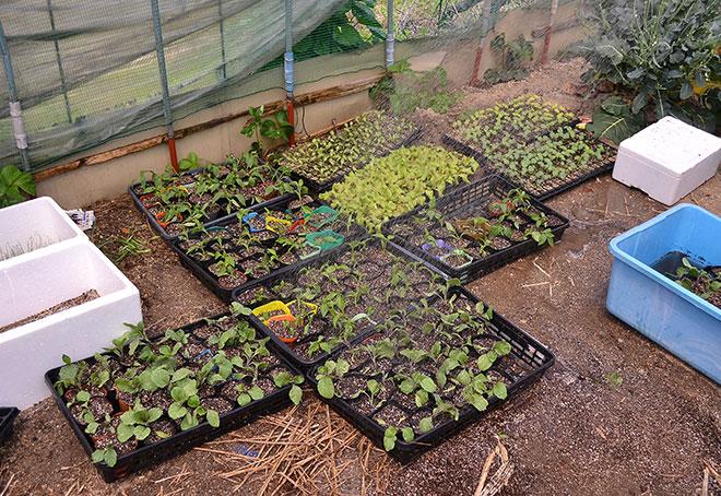 他の苗もぐいぐい成長中!植えるのが楽しみですね。