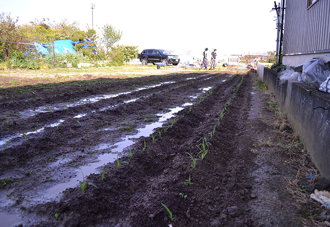 昨年収穫できたとうもろこしがとても人気だったので今年はちょっと早めに大量に育て中!